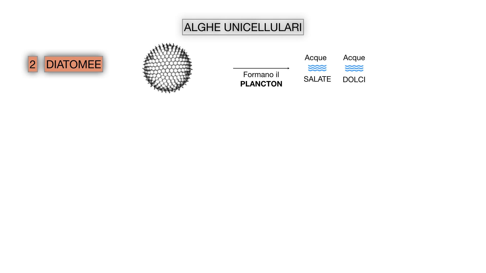 8. alghe uni_pluri_cellulari_SIMULAZIONE.016