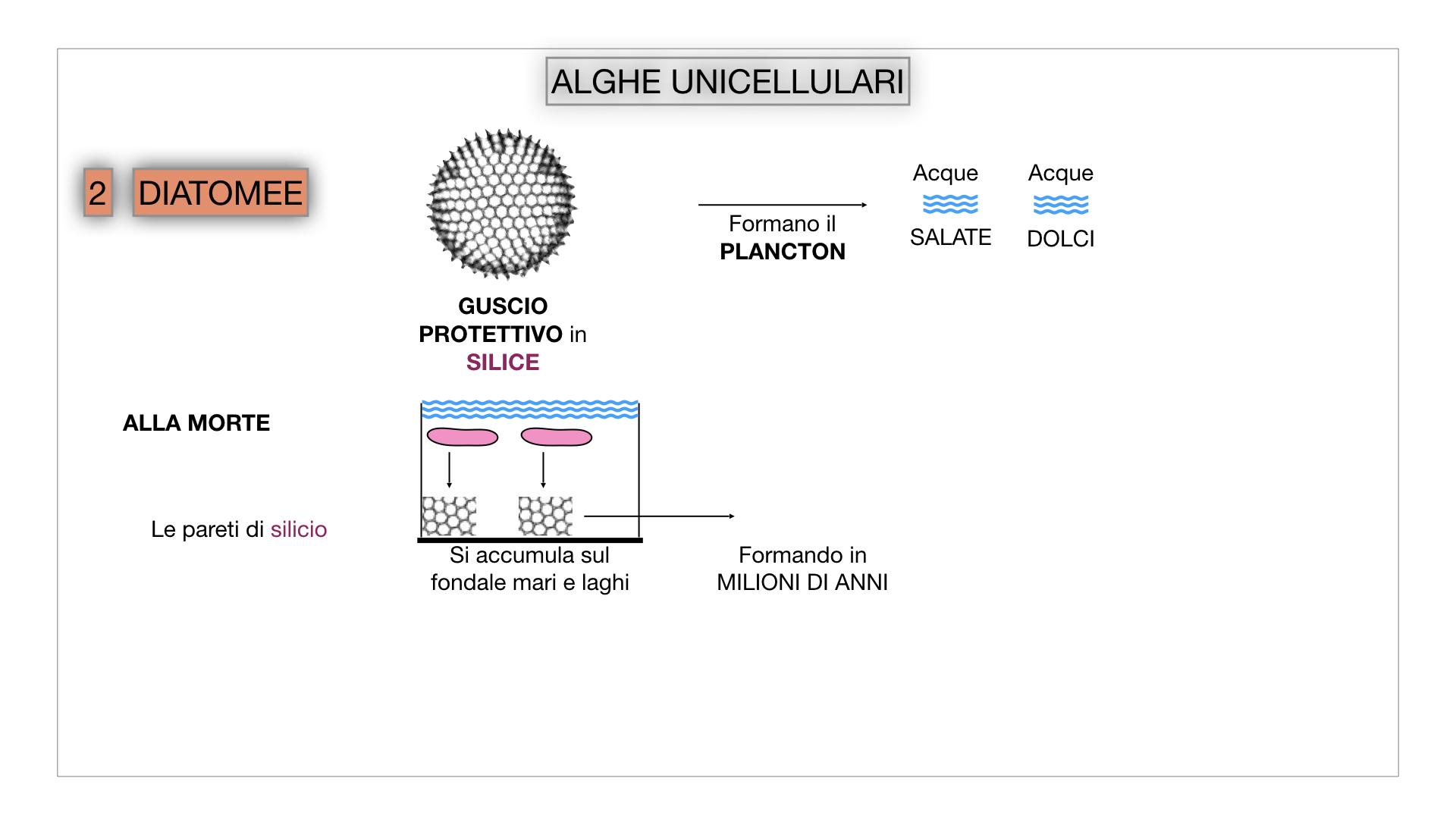 8. alghe uni_pluri_cellulari_SIMULAZIONE.020