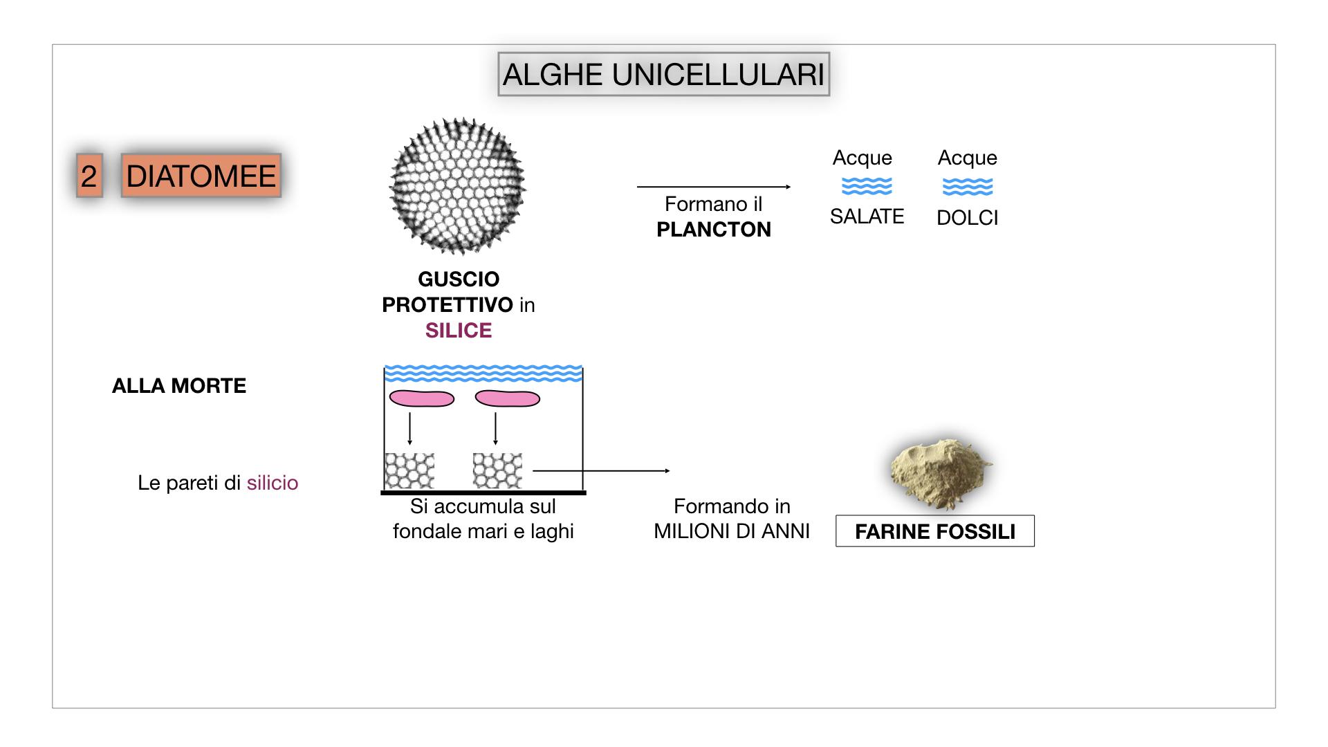 8. alghe uni_pluri_cellulari_SIMULAZIONE.021