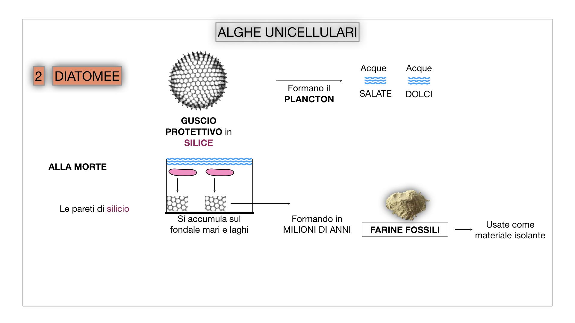 8. alghe uni_pluri_cellulari_SIMULAZIONE.022