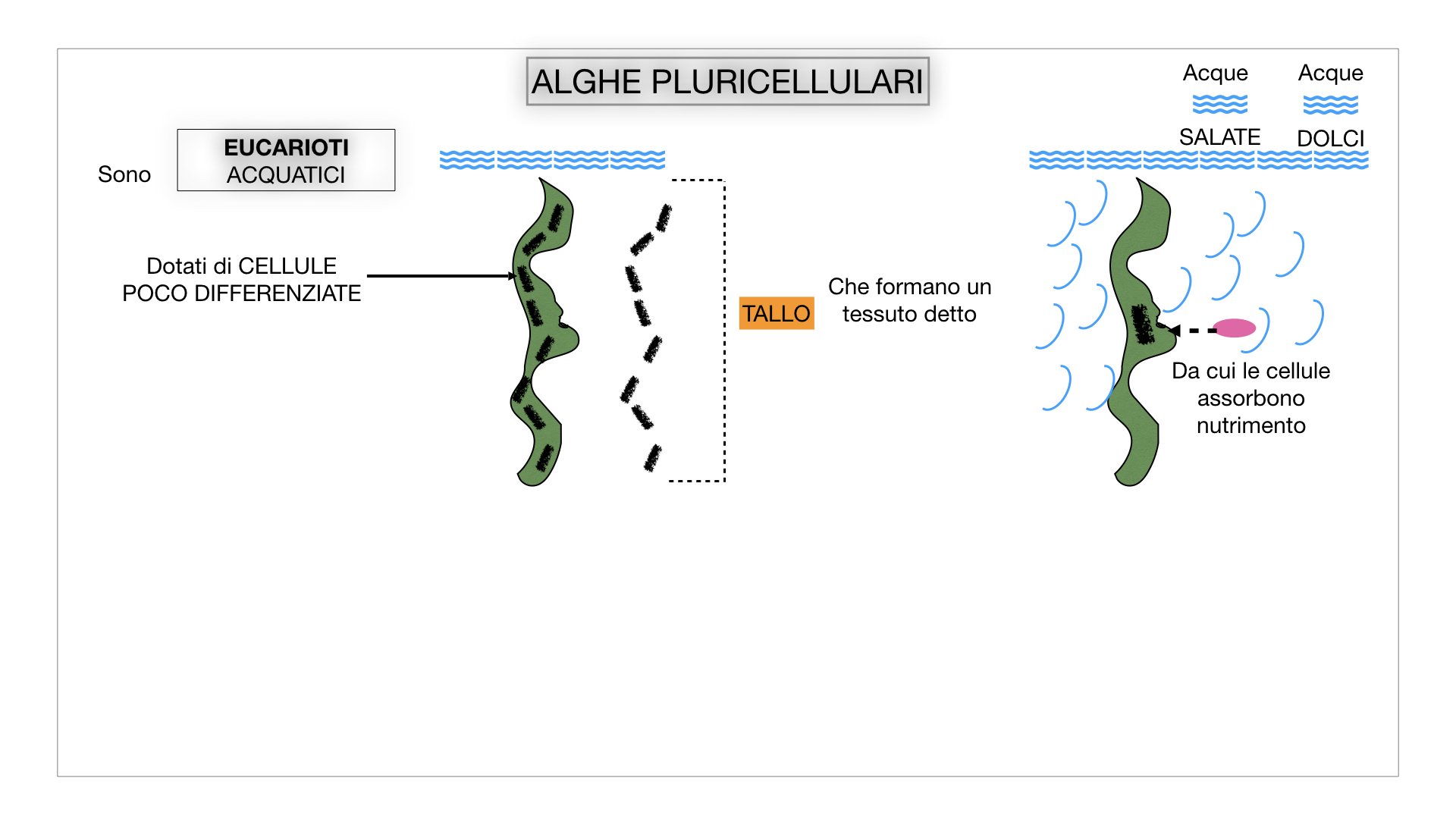 8. alghe uni_pluri_cellulari_SIMULAZIONE.028