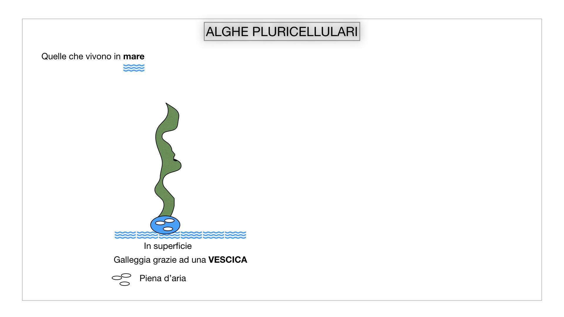 8. alghe uni_pluri_cellulari_SIMULAZIONE.034