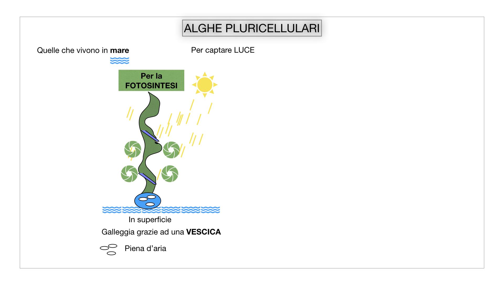 8. alghe uni_pluri_cellulari_SIMULAZIONE.036