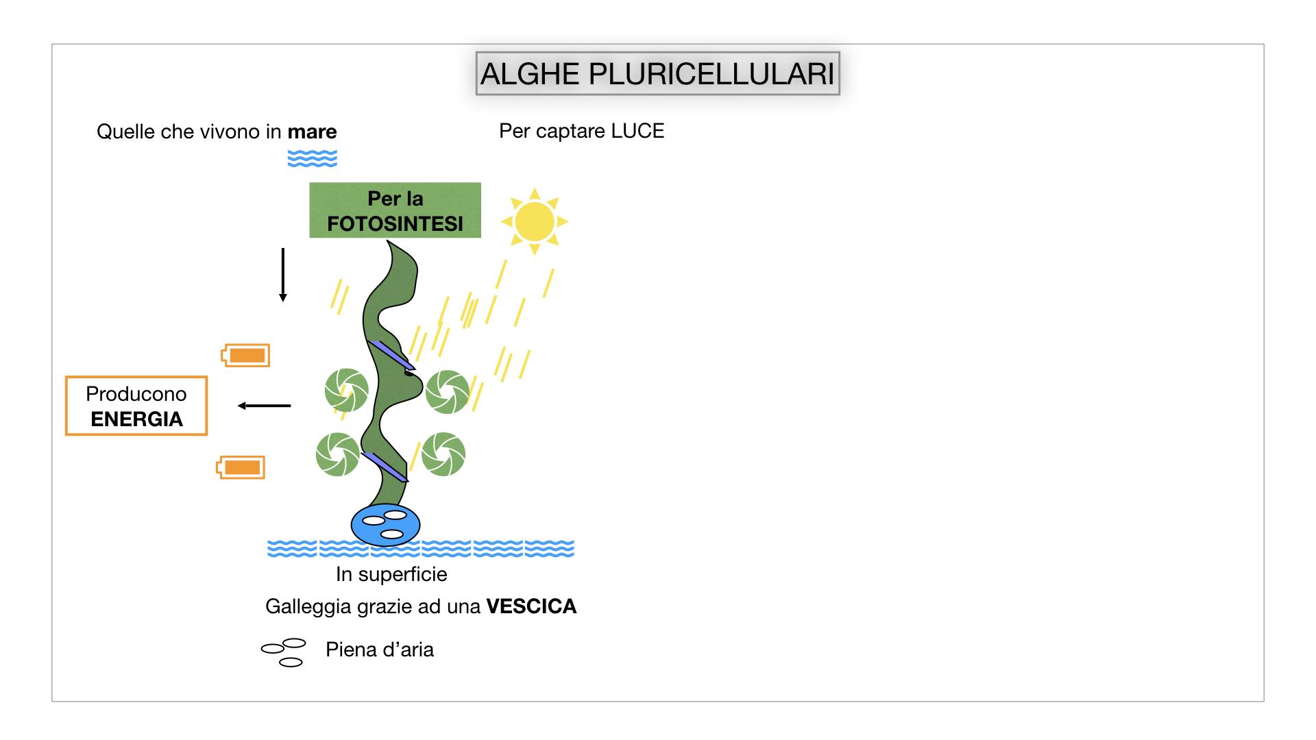 8. alghe uni_pluri_cellulari_SIMULAZIONE.037