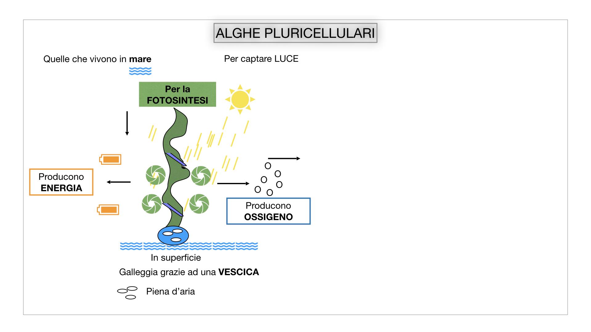 8. alghe uni_pluri_cellulari_SIMULAZIONE.038