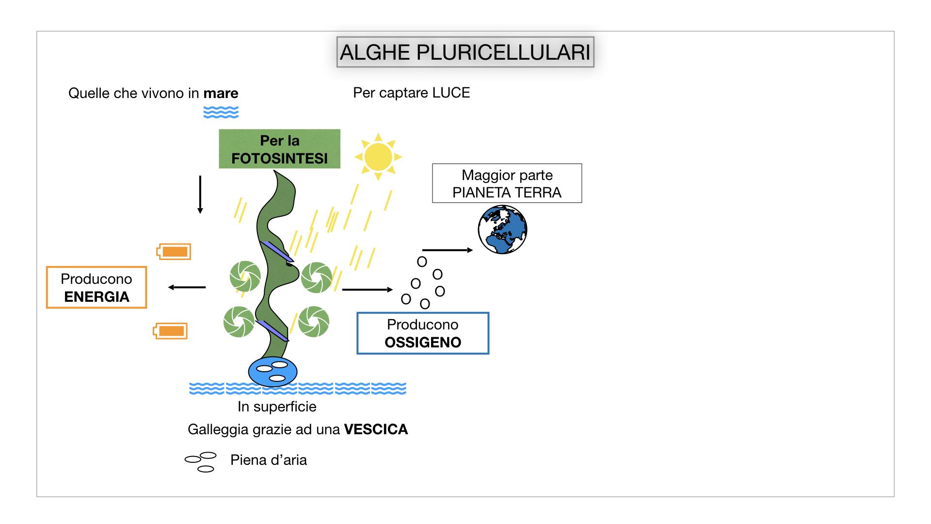 8. alghe uni_pluri_cellulari_SIMULAZIONE.039