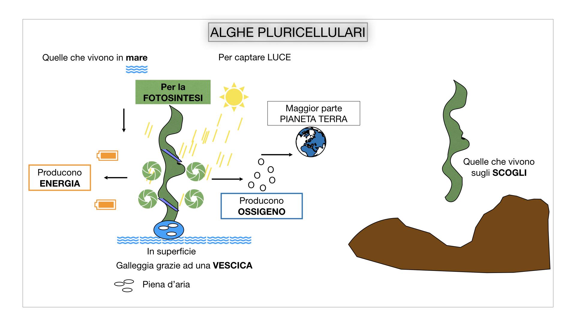 8. alghe uni_pluri_cellulari_SIMULAZIONE.040