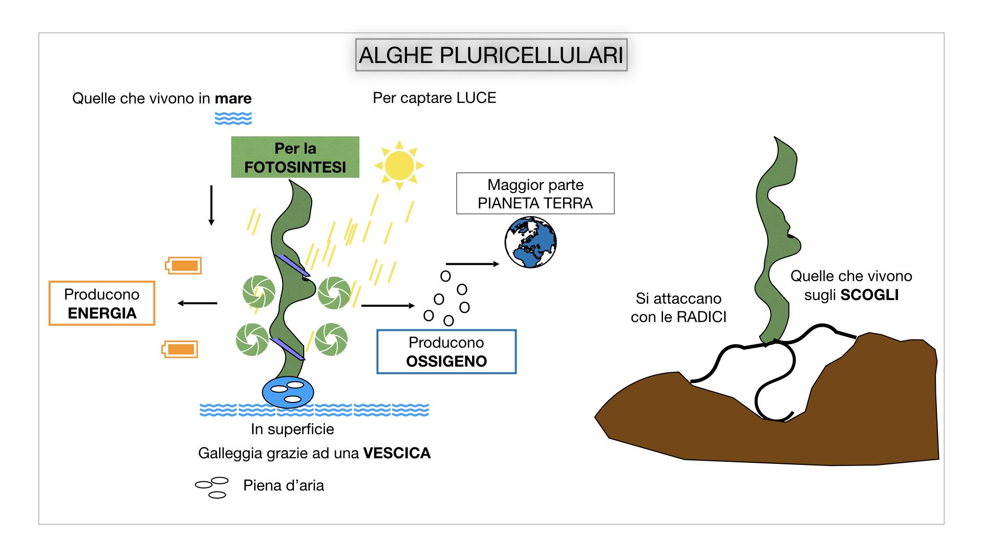 8. alghe uni_pluri_cellulari_SIMULAZIONE.041