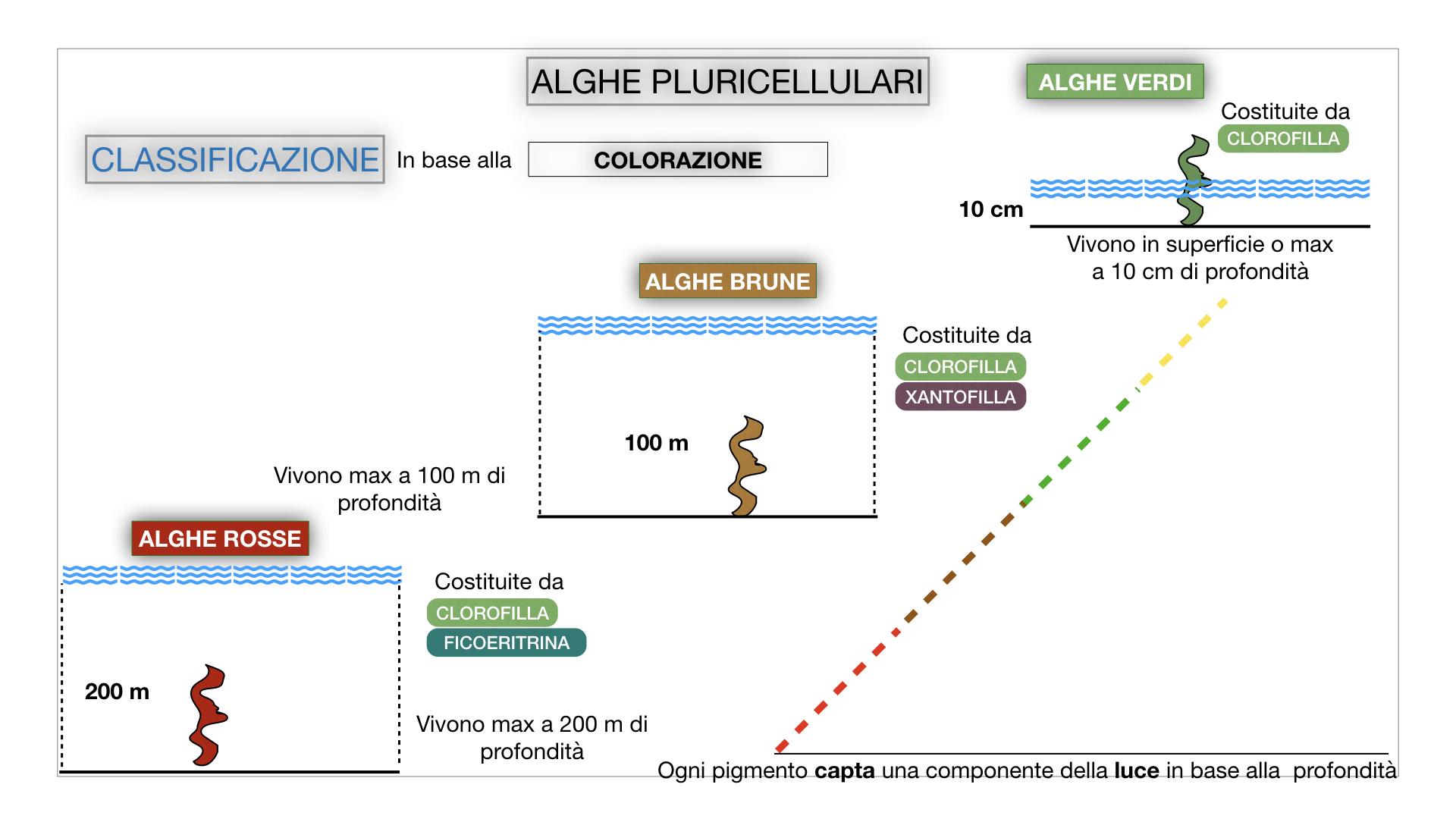 8. alghe uni_pluri_cellulari_SIMULAZIONE.053