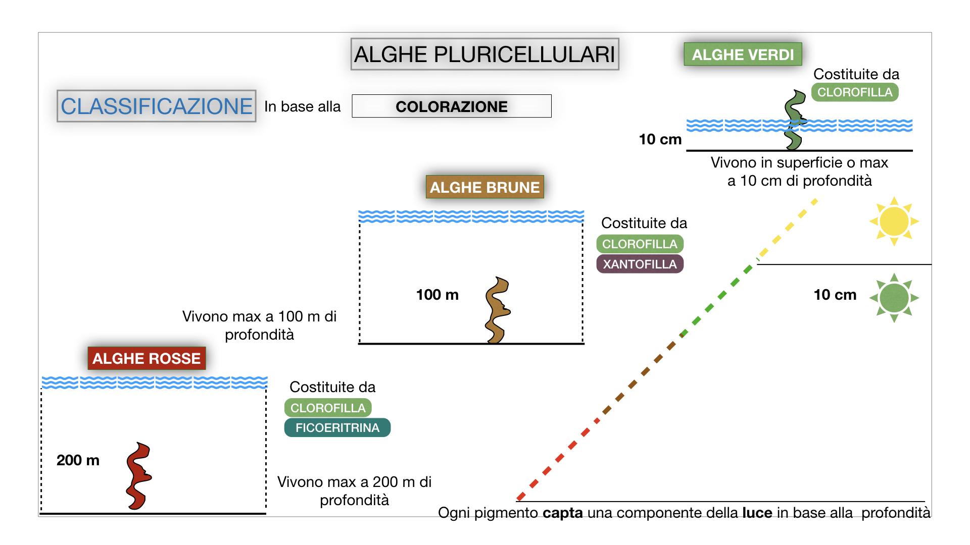 8. alghe uni_pluri_cellulari_SIMULAZIONE.054