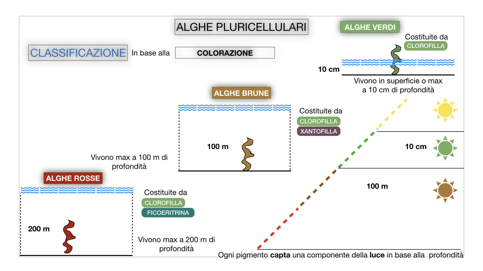 8. alghe uni_pluri_cellulari_SIMULAZIONE.055