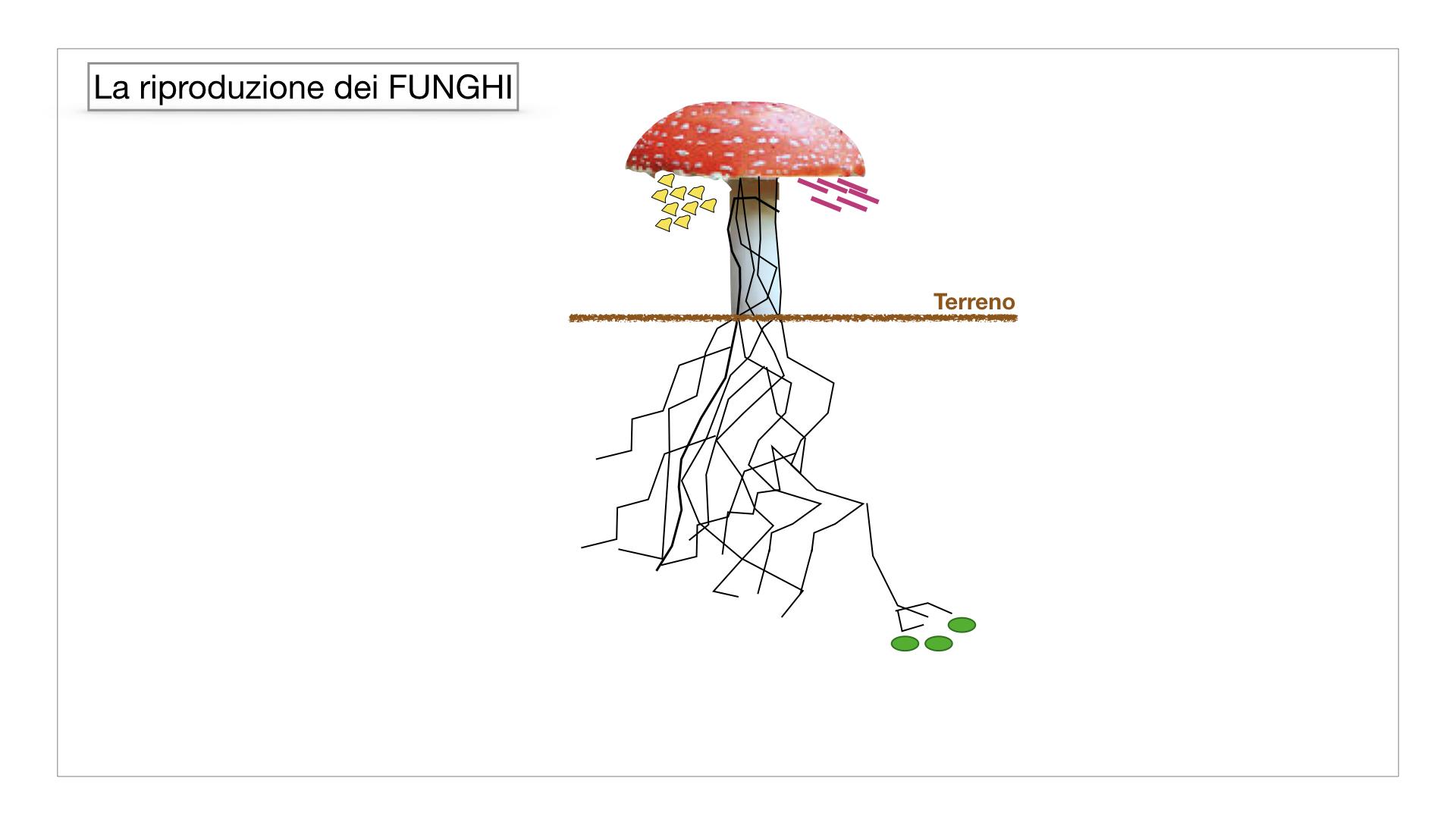 9. i funghi_SIMULAZIONE PARTE1.036