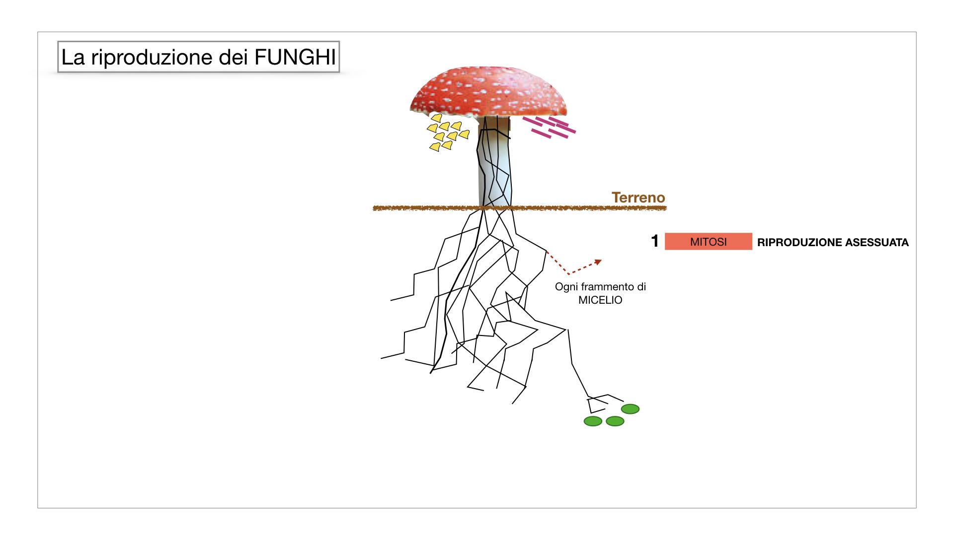 9. i funghi_SIMULAZIONE PARTE1.038