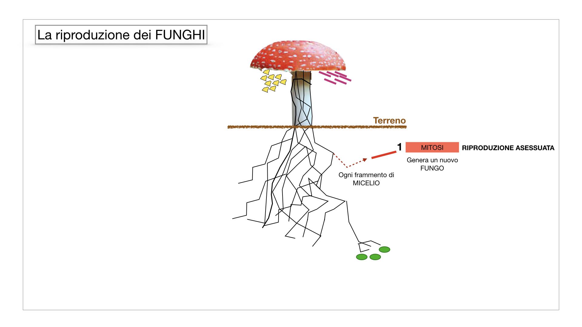 9. i funghi_SIMULAZIONE PARTE1.039
