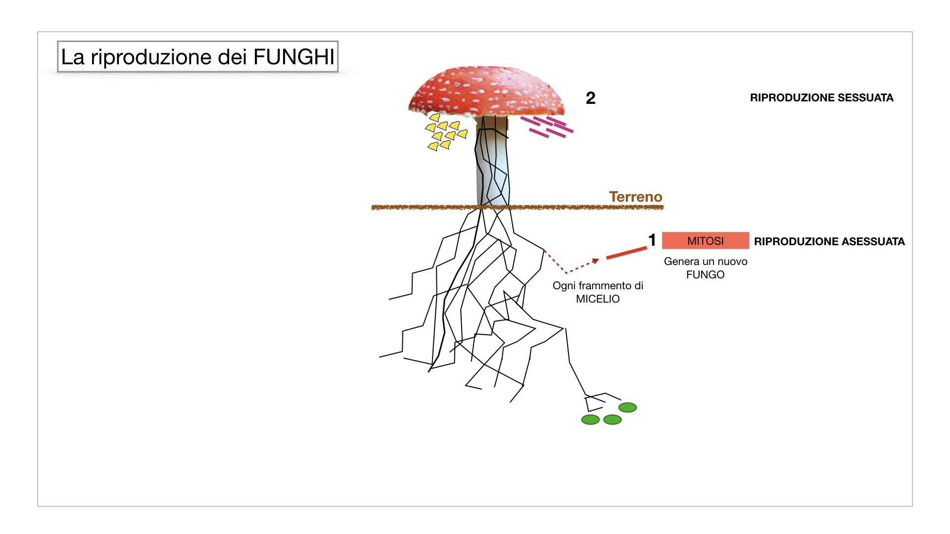 9. i funghi_SIMULAZIONE PARTE1.040