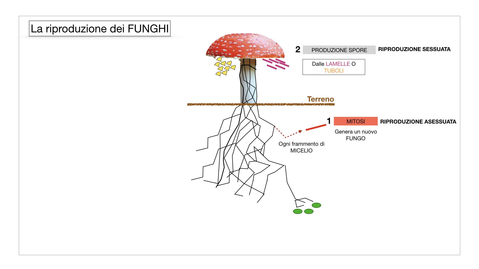 9. i funghi_SIMULAZIONE PARTE1.042