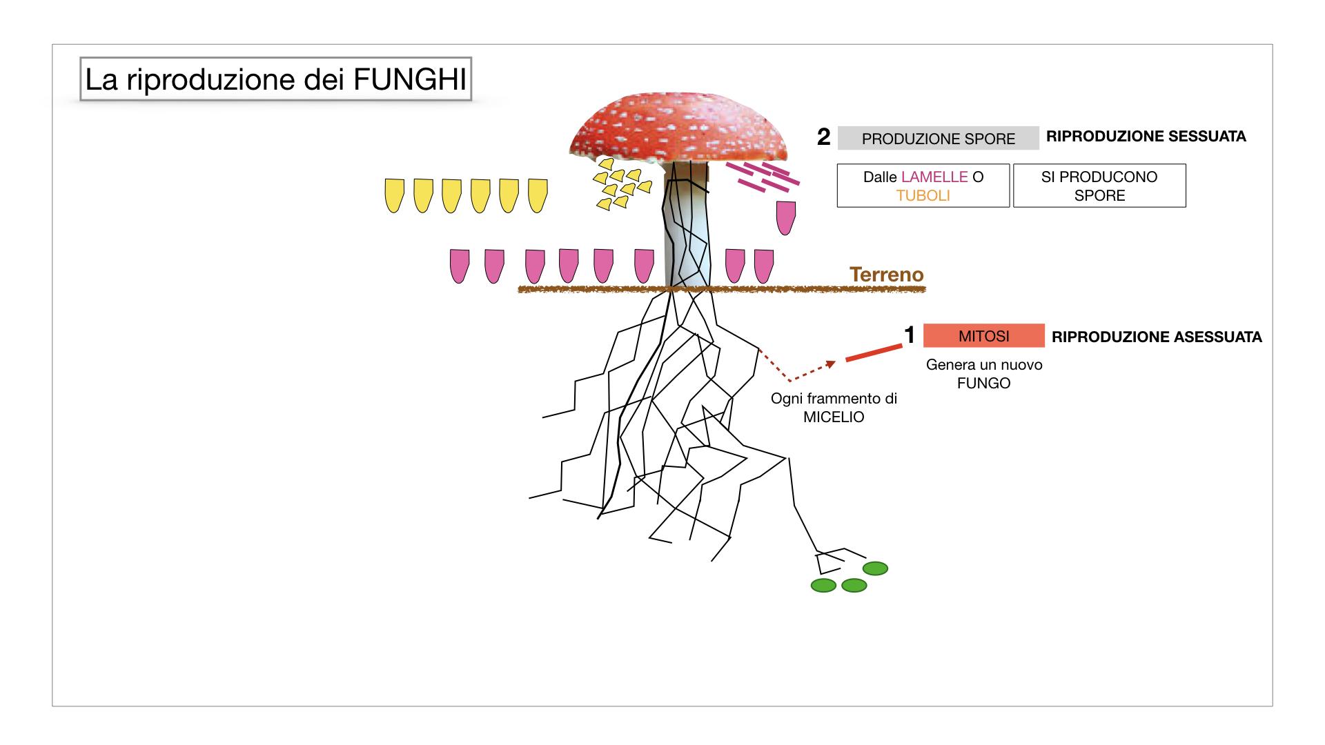 9. i funghi_SIMULAZIONE PARTE1.043
