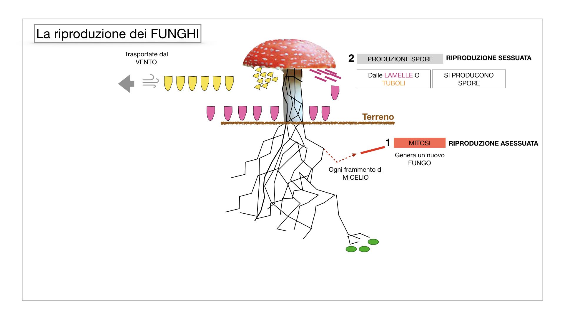 9. i funghi_SIMULAZIONE PARTE1.044