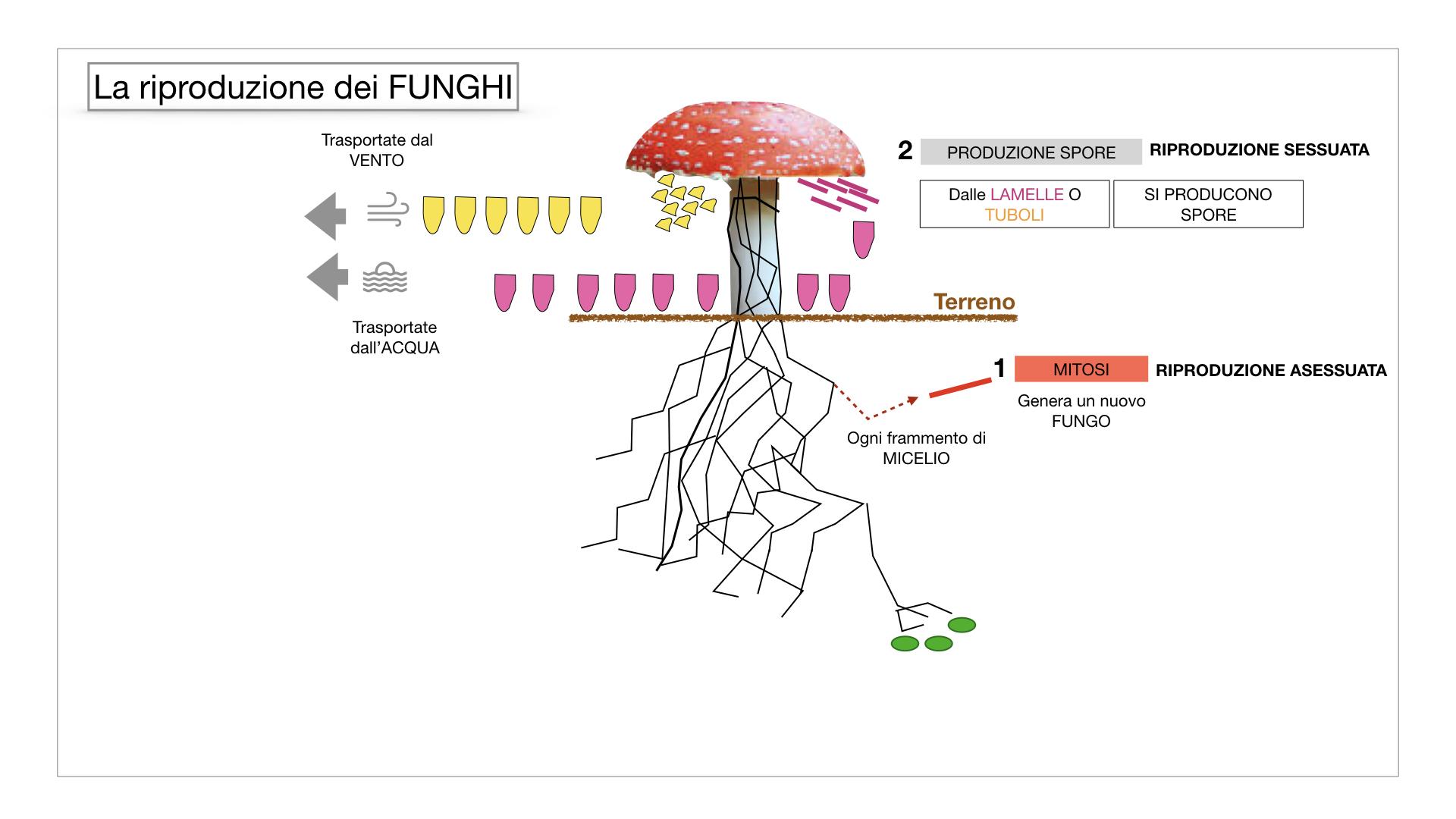 9. i funghi_SIMULAZIONE PARTE1.045