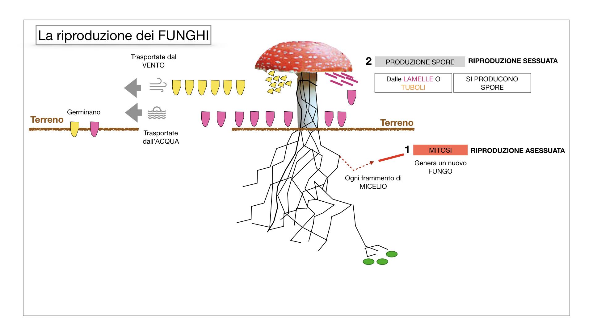 9. i funghi_SIMULAZIONE PARTE1.046