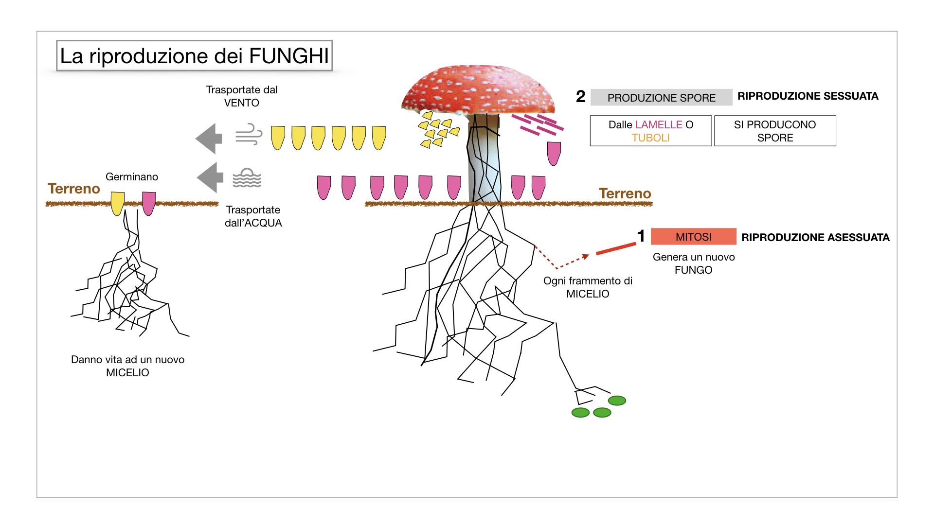 9. i funghi_SIMULAZIONE PARTE1.047