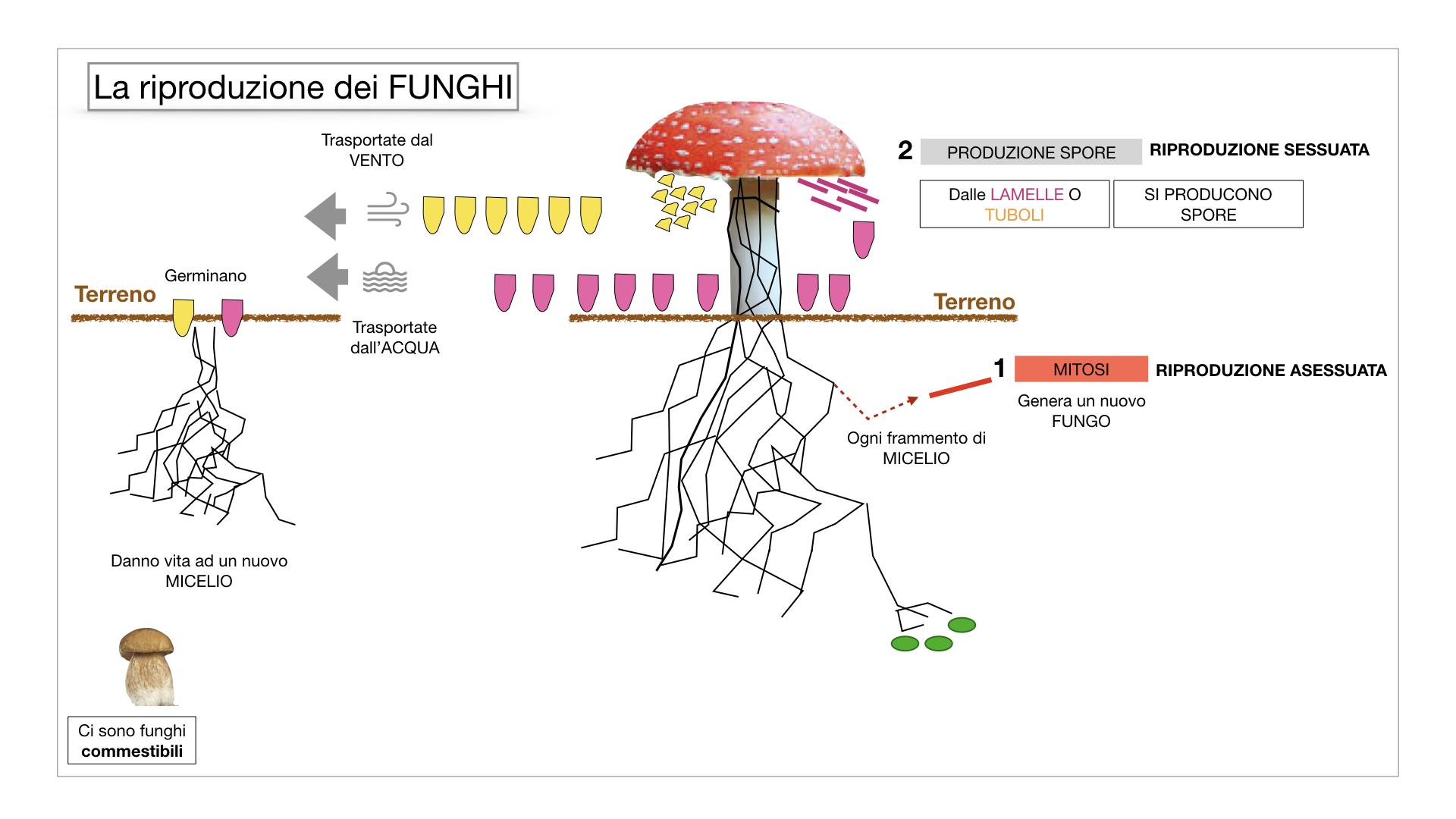 9. i funghi_SIMULAZIONE PARTE1.048
