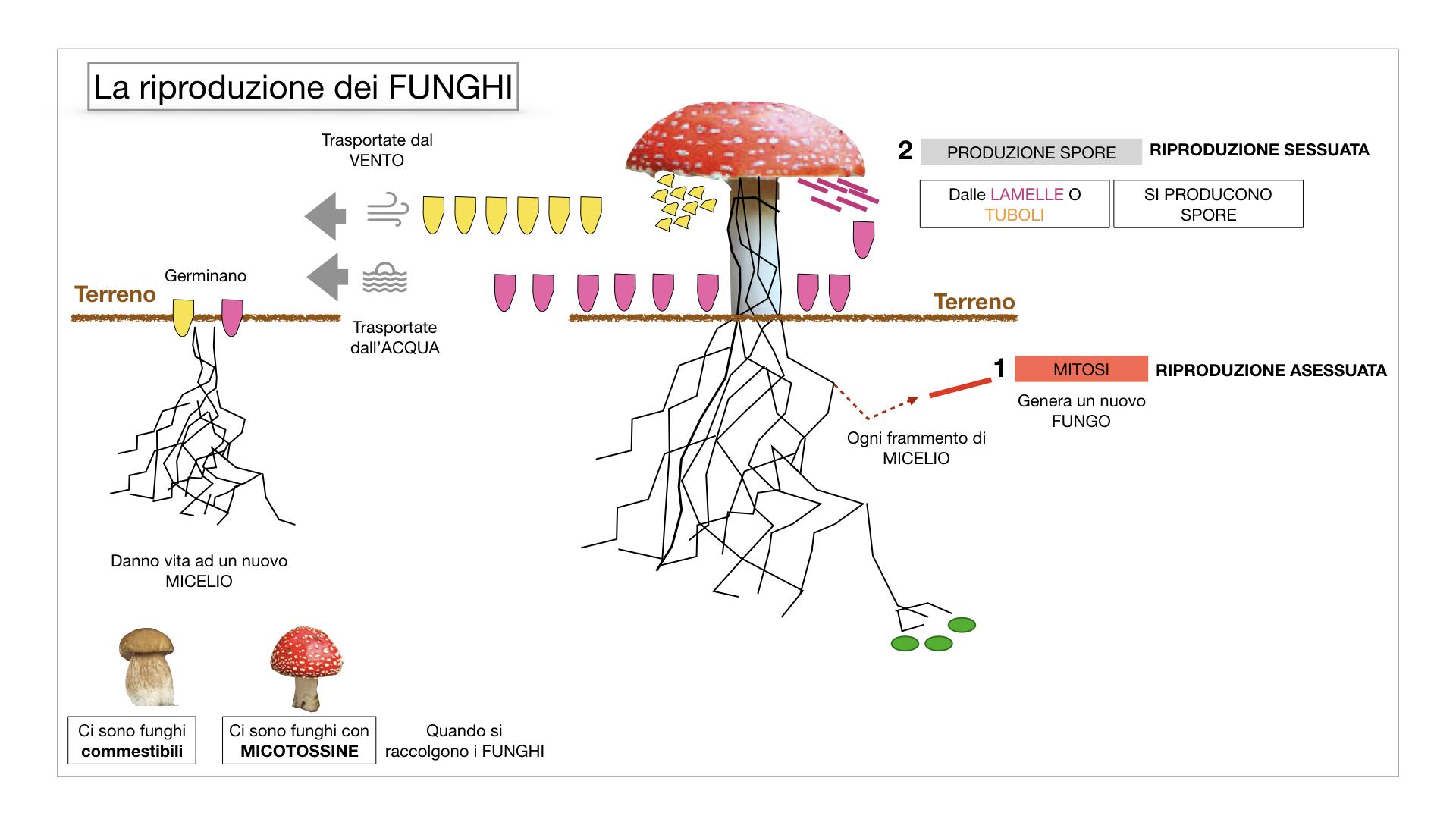 9. i funghi_SIMULAZIONE PARTE1.050