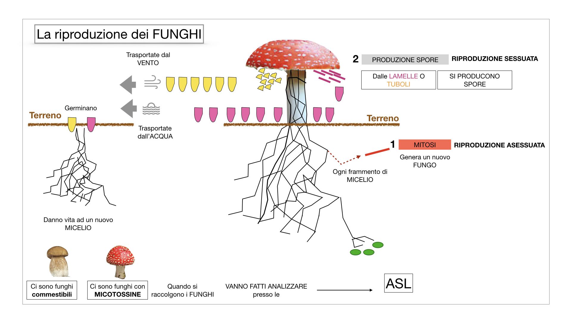 9. i funghi_SIMULAZIONE PARTE1.052