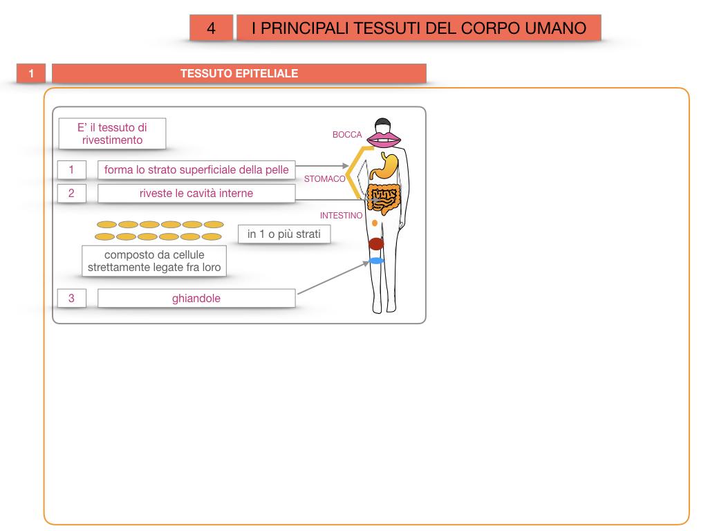 3. SCIENZE_I PRINCIPALI TESSUTI_SIMULAZIONE.011