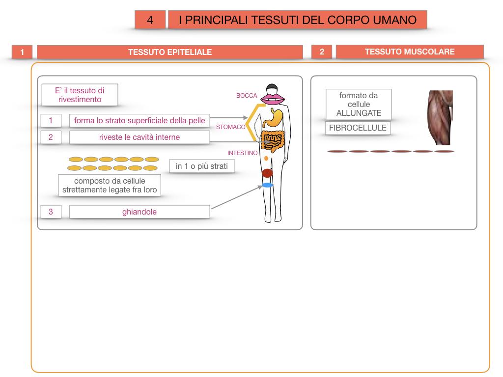 3. SCIENZE_I PRINCIPALI TESSUTI_SIMULAZIONE.013