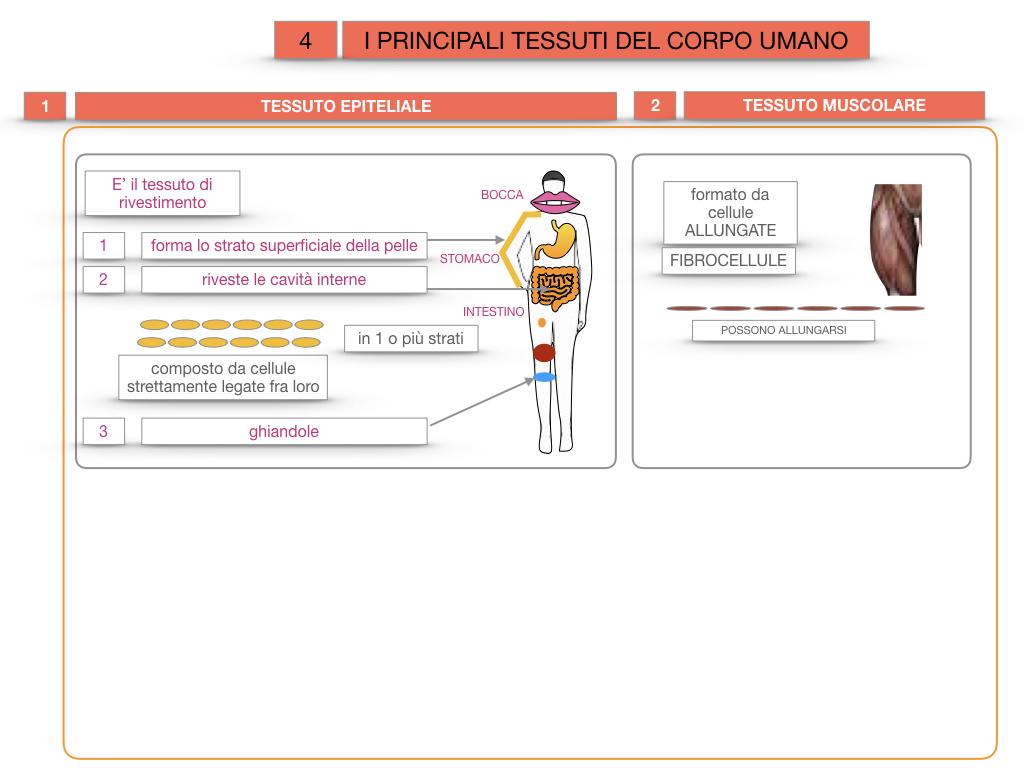 3. SCIENZE_I PRINCIPALI TESSUTI_SIMULAZIONE.014