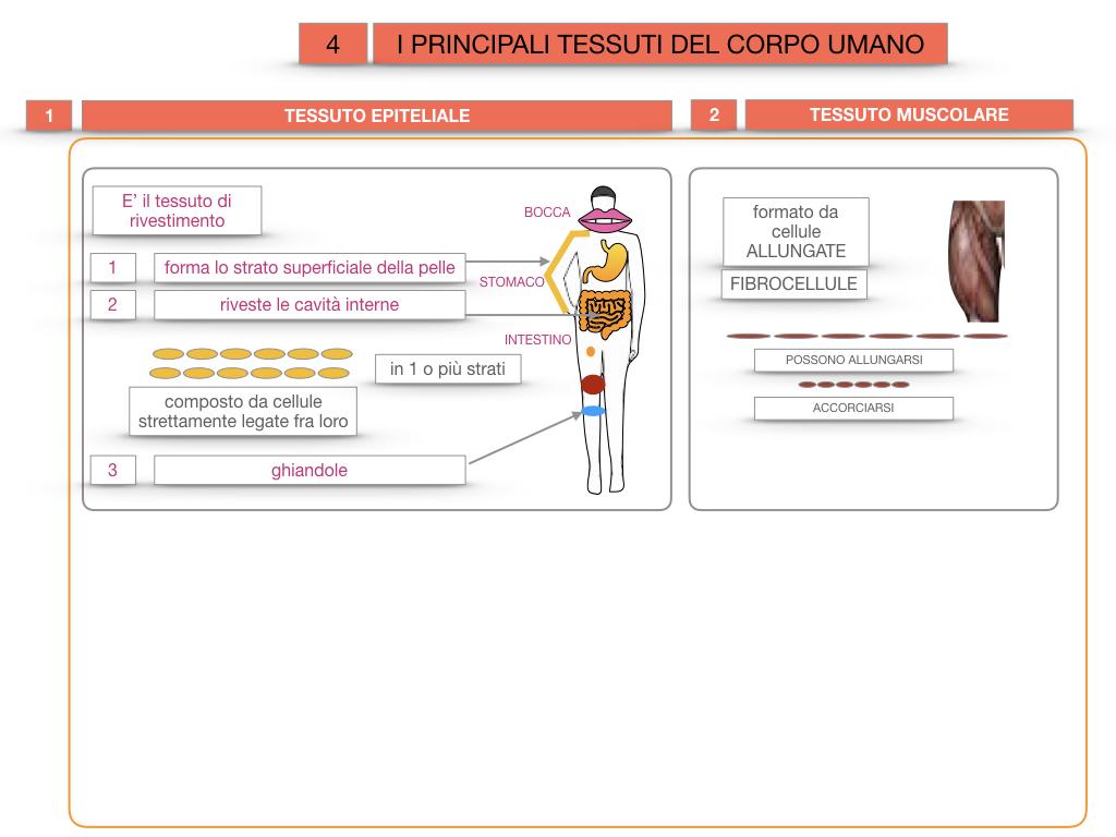 3. SCIENZE_I PRINCIPALI TESSUTI_SIMULAZIONE.015