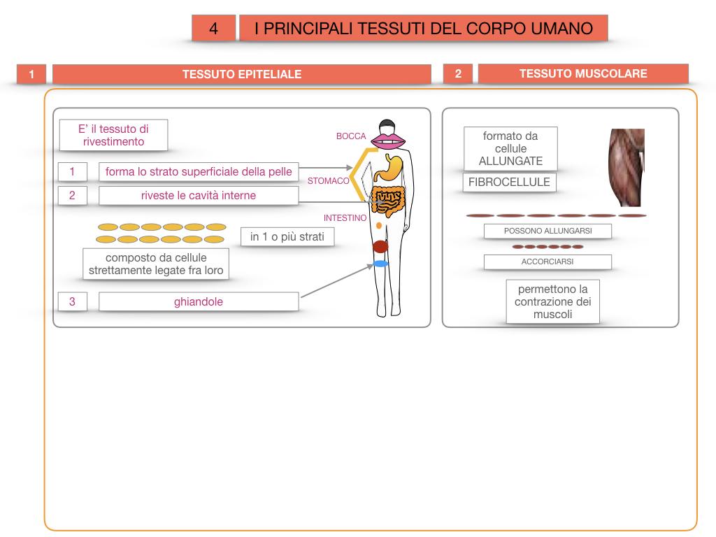 3. SCIENZE_I PRINCIPALI TESSUTI_SIMULAZIONE.016