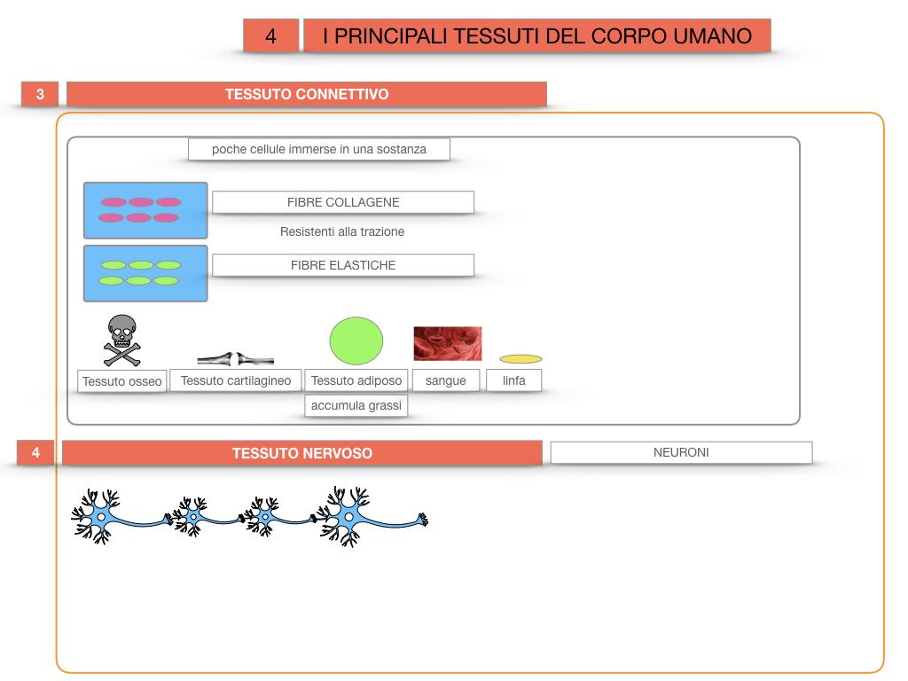 3. SCIENZE_I PRINCIPALI TESSUTI_SIMULAZIONE.029