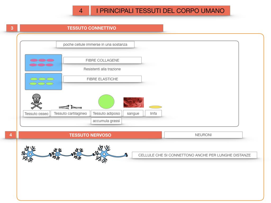 3. SCIENZE_I PRINCIPALI TESSUTI_SIMULAZIONE.030