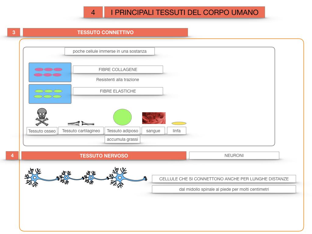 3. SCIENZE_I PRINCIPALI TESSUTI_SIMULAZIONE.031