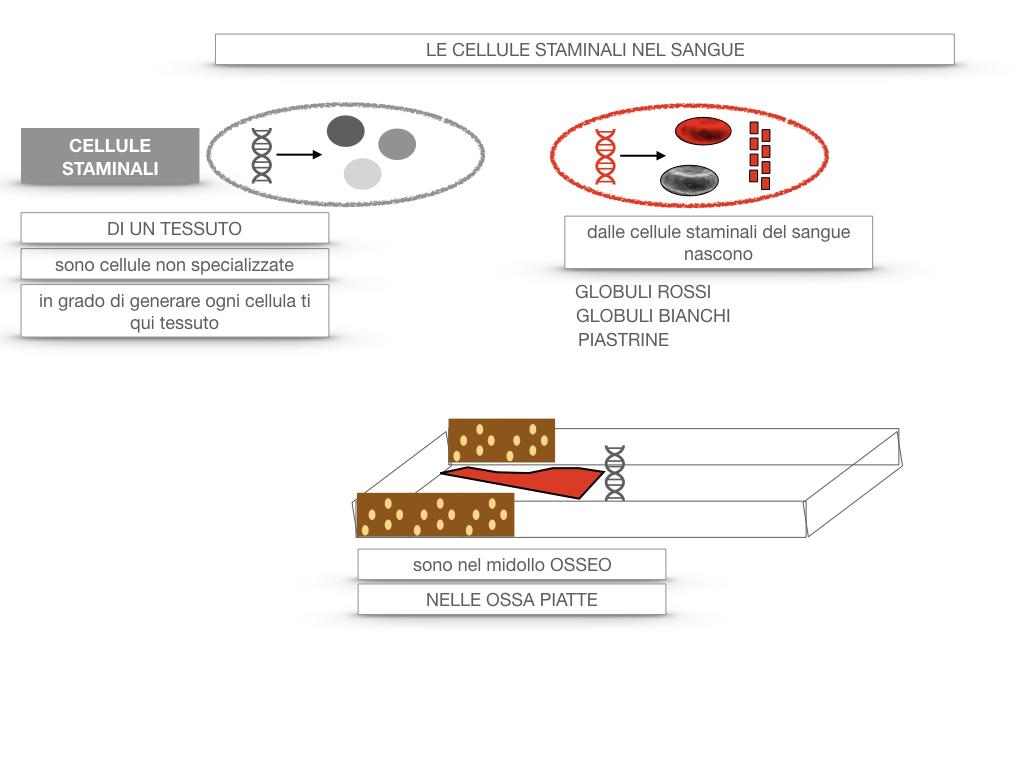 16. PIASTRINE CELLULE STAMINALI_SIMULAZIONE.059