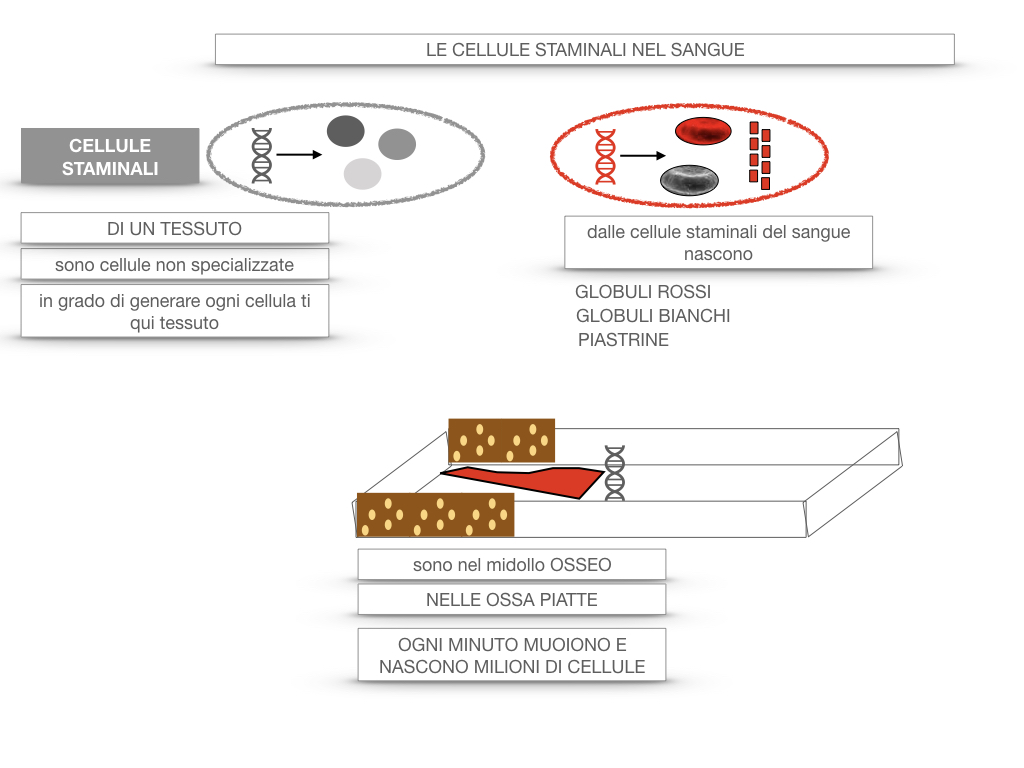 16. PIASTRINE CELLULE STAMINALI_SIMULAZIONE.060