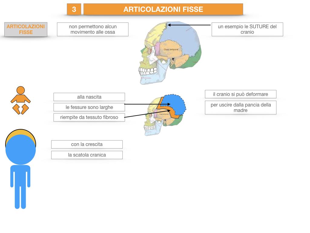 10. LE ARTICOLAZIONI_SEMIMOBILI_FISSE_SIMULAZIONE.017