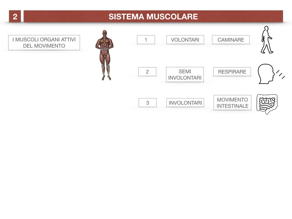 11. IL SISTEMA MUSCOLARE_PARTE1_SIMULAZIONE.008