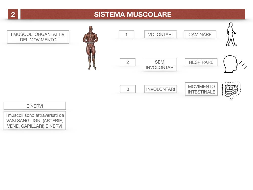 11. IL SISTEMA MUSCOLARE_PARTE1_SIMULAZIONE.009