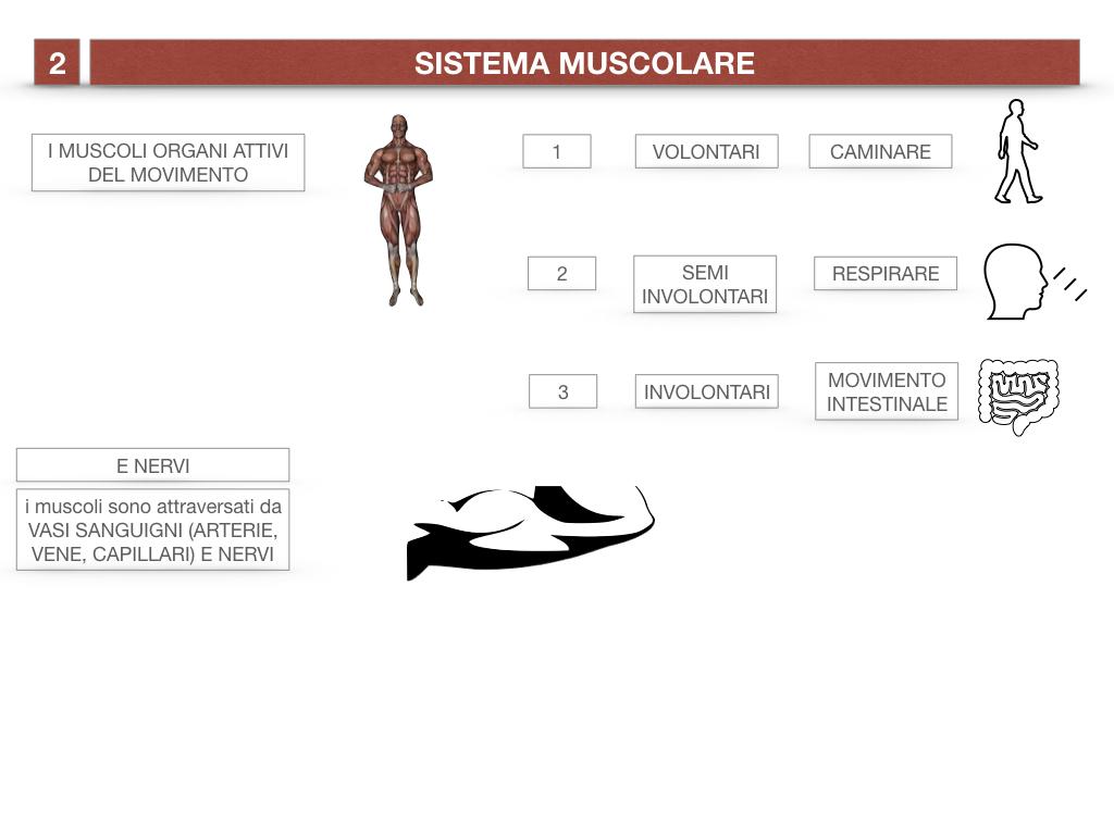 11. IL SISTEMA MUSCOLARE_PARTE1_SIMULAZIONE.010