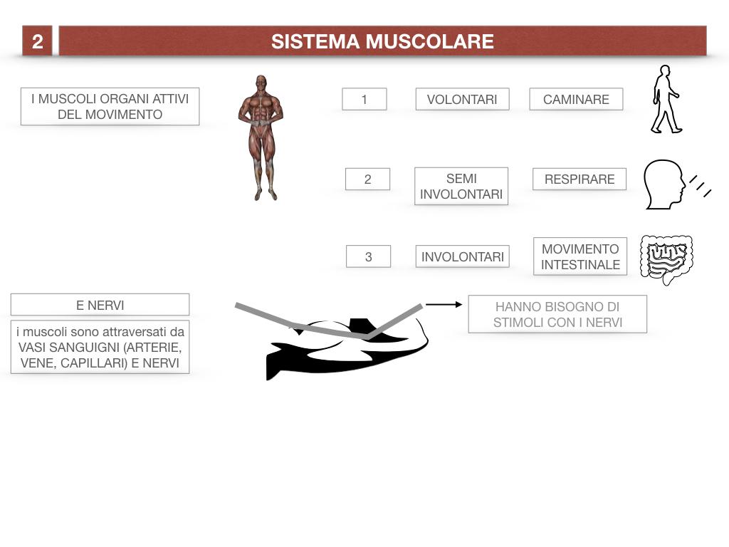 11. IL SISTEMA MUSCOLARE_PARTE1_SIMULAZIONE.011