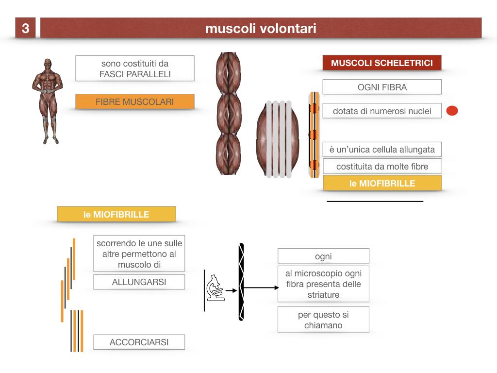 11. IL SISTEMA MUSCOLARE_PARTE1_SIMULAZIONE.046