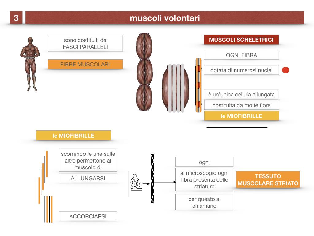 11. IL SISTEMA MUSCOLARE_PARTE1_SIMULAZIONE.047