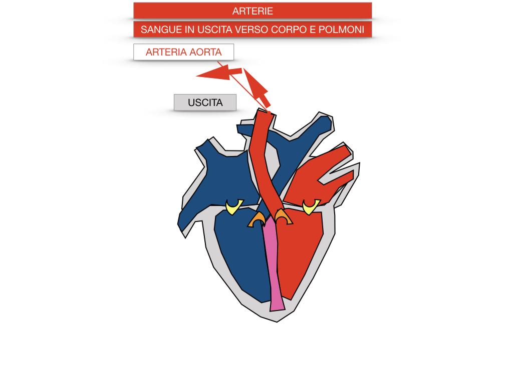 17. ORGANI APPARATO CIRCOLATORIO_SIMULAZIONE.062