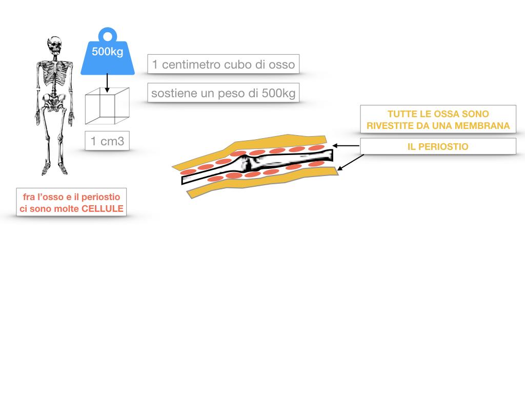 5. SCIENZE_COMPOSIZIONE E FORMA DELLE OSSA_SIMULAZIONE.024