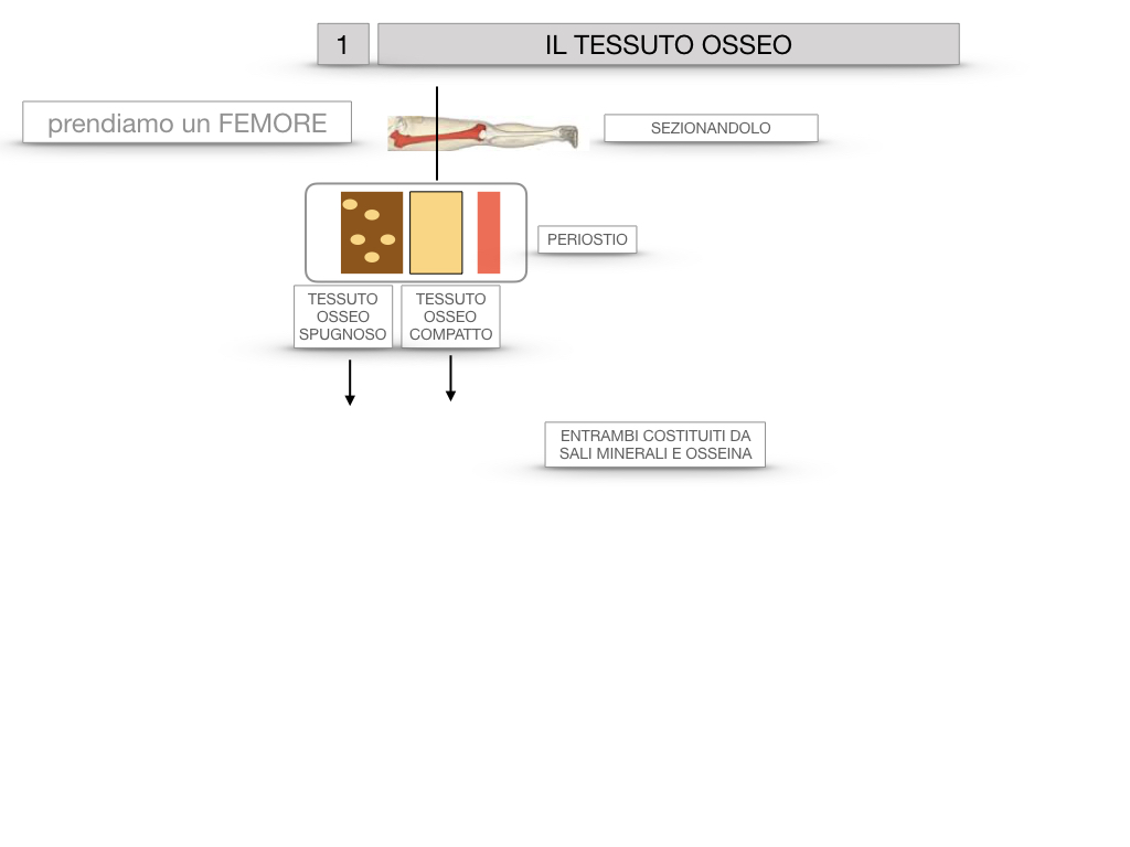 6. TESSUTO OSSEO_ CALCIFICAZIONE_MIDOLLO OSSEO_SIMULAZIONE.007