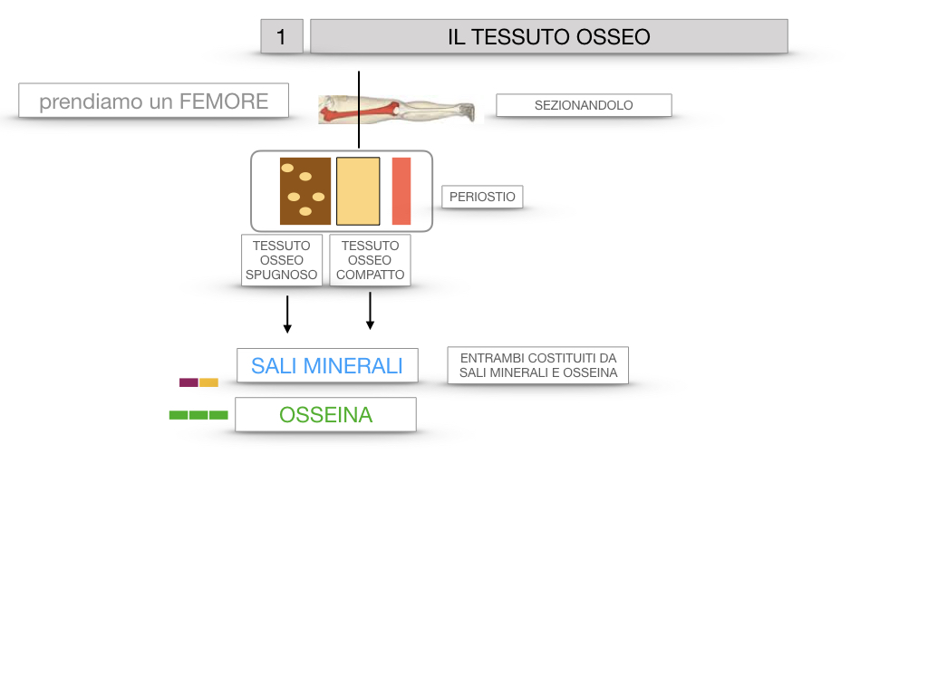 6. TESSUTO OSSEO_ CALCIFICAZIONE_MIDOLLO OSSEO_SIMULAZIONE.009
