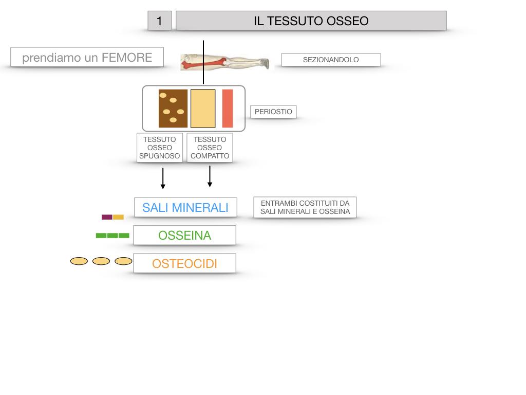 6. TESSUTO OSSEO_ CALCIFICAZIONE_MIDOLLO OSSEO_SIMULAZIONE.010